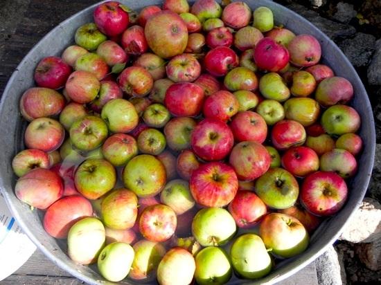 Apple Pickin' Season