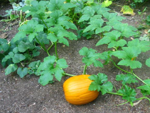 Pumpkins . . . Pumpkins . . . Pump kids