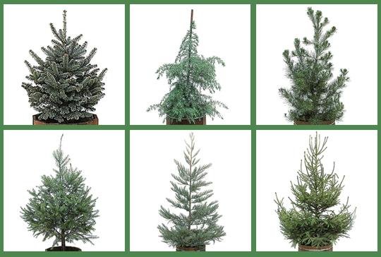 01_livingtrees_120109 - Live Christmas Trees